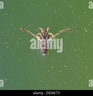 Backswimmer, Notonecta glauca, UK - Stock Photo