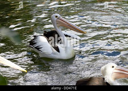 Australian Pelican (Pelecanus conspicillatus) swimming in pond, Bali, Indonesia - Stock Photo