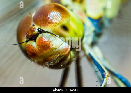 Portrait of a Scarlet Darter (Crocothemis erythraea) - Stock Photo