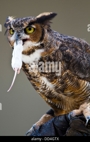 Great Horned Owl, (Bubo virginianus) eating a mouse Photographed in Indiana, USA - Stock Photo