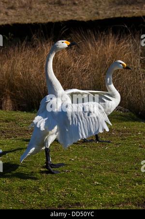 Bewick's Swans (cygnus columbianus) - Stock Photo
