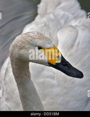 Bewick's Swan (cygnus columbianus) - Stock Photo