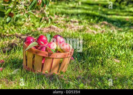 Bushel basket full of freshly picked MacIntosh apples in the orchard. - Stock Photo