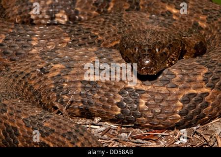 Brown Water Snake - Stock Photo