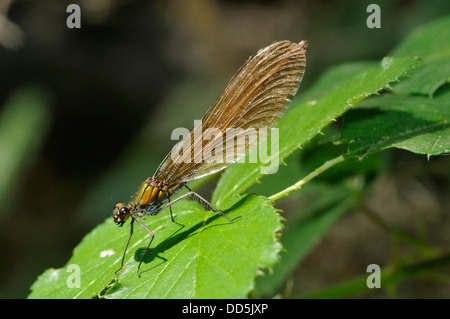 Beautiful Demoiselle - Calopteryx virgo Female resting on brambles - Stock Photo