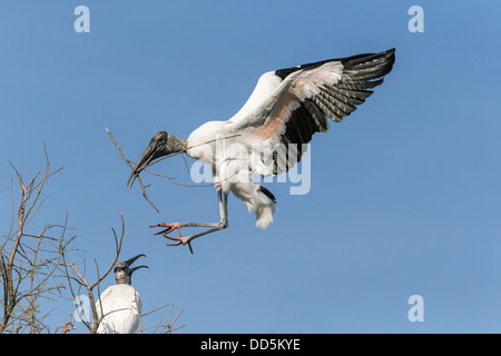Wood Stork landing back at nest site with nesting material - Stock Photo