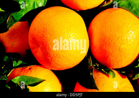 Seville oranges and leaves, Costa del Sol, Malaga Province, Andalucia, Spain, Western Europe. - Stock Photo