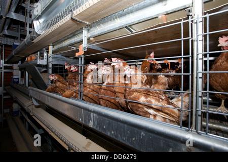 Battery farm hens, UK. - Stock Photo