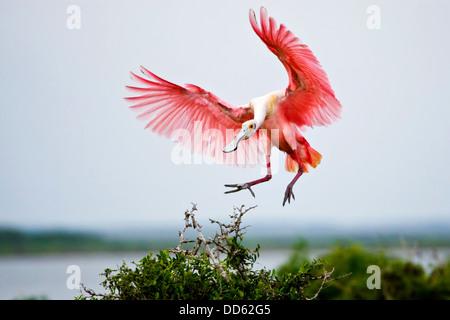 Roseate Spoonbill (Ajaia ajaja) adult landing, Texas, USA. - Stock Photo