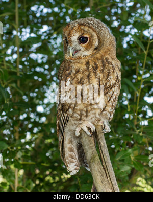 Silver Tawny owl (Strix aluco) perched on a tree stump - Stock Photo