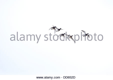 Lesser Scaup; Aythya affinis - Stock Photo