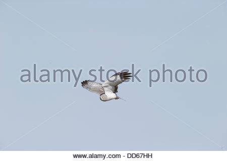 Harrier Hawk; Circus cyaneus - Stock Photo