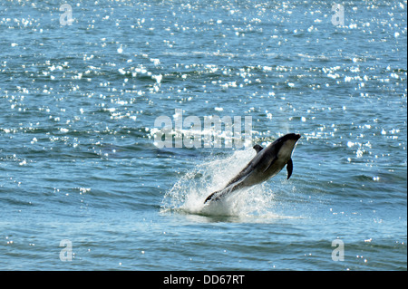 Common dolphin leaping out of the water - Stock Photo