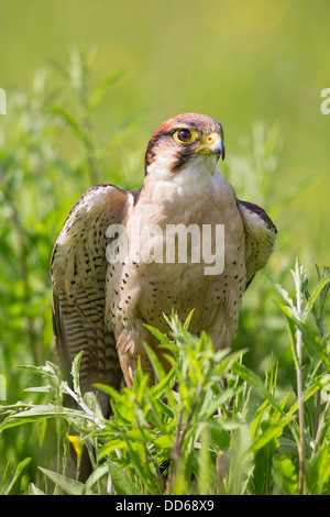 Close-up of an adult Lanner falcon (Falco biarmicus) standing in a meadow - Stock Photo