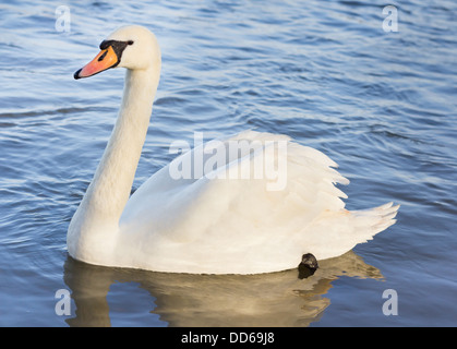 Single white swan floating on the water - Stock Photo