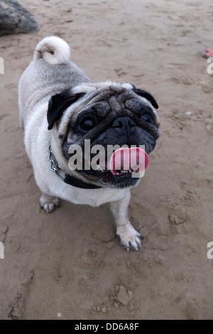 Pug Mops dog - Stock Photo