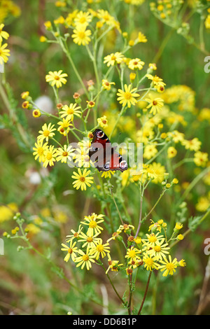Peacock Butterfly, Inachis io, Collecting Pollen from Ragwort on Conservation Farm Land. England, UK, 2013. - Stock Photo