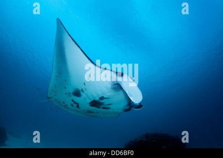 Manta ray close-focus wide-angle image with blue water background. - Stock Photo