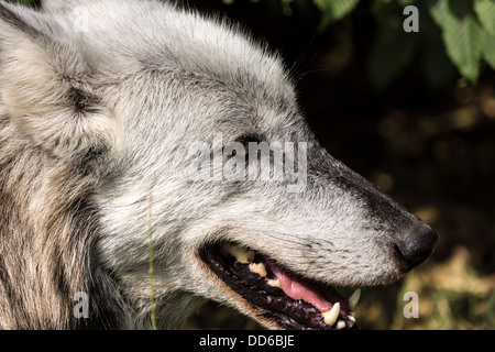 A Wolf on the prowl in a sanctuary in Berkshire, England. - Stock Photo