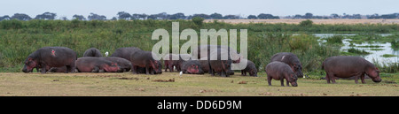 Large group of hippos - Stock Photo