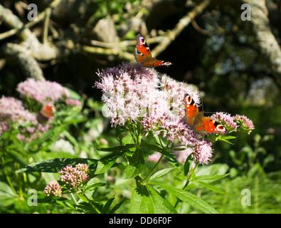 Peacock Butterflies (Inachis io), England, UK - Stock Photo
