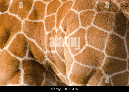 Background pattern of giraffe fur with typical pattern - Stock Photo