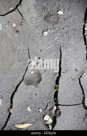 Animal tracks found in soft mud at the side of the Savage River in the Tarkine Wilderness - Stock Photo