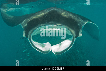 this is a shot of a Giant manta ray feeding on plankton protecting a school of sardines. Stock Photo