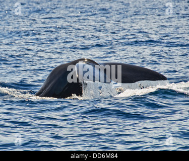this is a shot of a sperm whale making a deep dive to hunt - Stock Photo