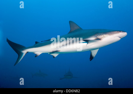 A Reef Shark, Carcharhinus perezii, swims through the water column on a reef near the island of Roatan, Honduras - Stock Photo