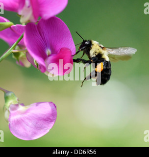 Bumble-Bee sitting On A Flower - Stock Photo