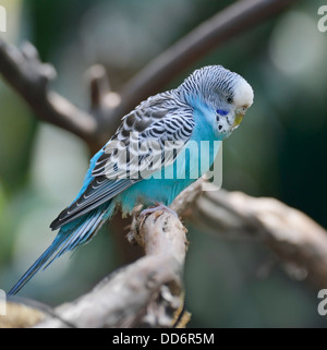 Blue Budgerigar Perching On A Branch - Stock Photo