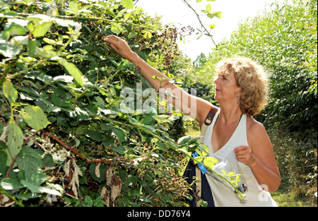 Woman picking wild summer blackberries from a bush Sussex UK - Stock Photo