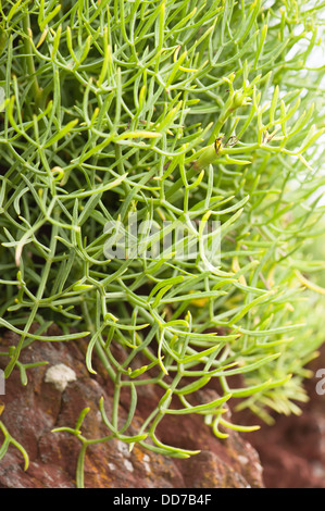 Rock Samphire or Sea Fennel, Crithmum maritimum - Stock Photo