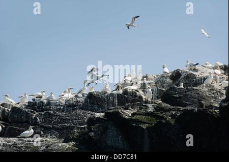 Colony of Gannets, Morus bassanus, nesting on Grassholm Island, South Pembrokeshire, Wales, United Kingdom - Stock Photo
