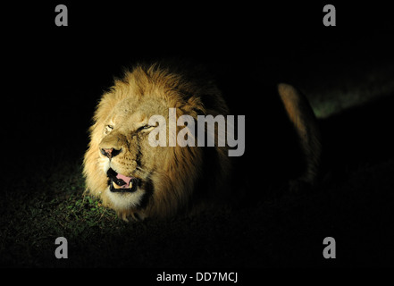 adult male lion roaring at night - Stock Photo