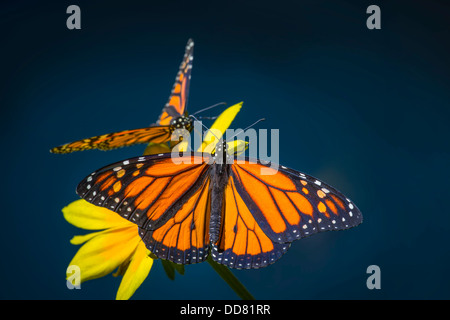Two Monarch Butterflies Resting On Yellow Flower - Stock Photo