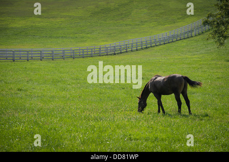 Horse Grazing In Field With White Fence, Lexington Kentucky, USA - Stock Photo