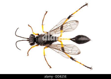 Wasp mud dauber species sceliphron destillatorium - Stock Photo