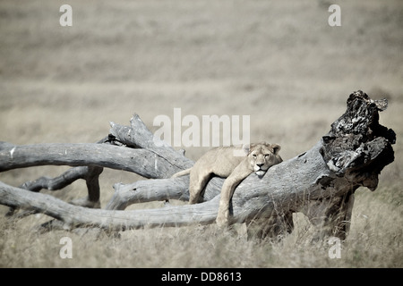Lion lays on a tree Serengeti . Tanzania. Africa - Stock Photo