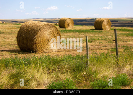 Alberta Agriculture Round Alfalfa Hay Bales in Field with Barbed Wire Fence in Foreground - Stock Photo