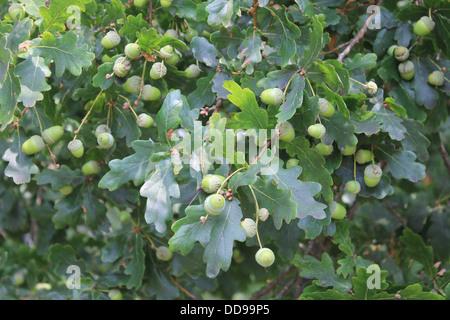 Oak leaves and acorns of the English Oak (pedunculate oak, Quercus robur) - Stock Photo