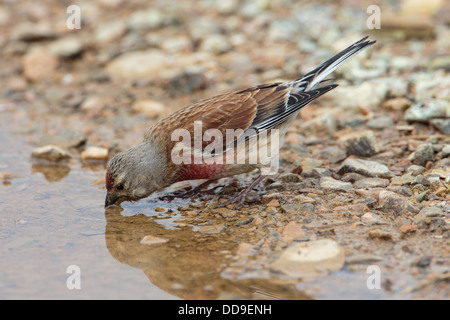 Male Common Linnet, Carduelis cannabina, drinking from puddle - Stock Photo