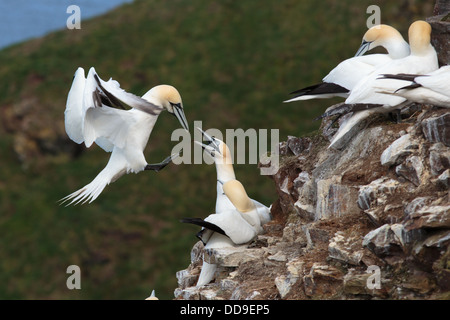Northern Gannet, Morus bassanus, returning to breeding colony - Stock Photo