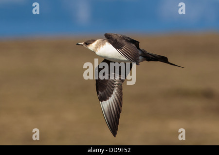 Pale phase Arctic Skua, Stercorarius parasiticus - Stock Photo