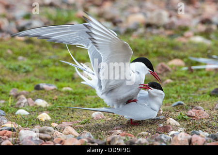 Arctic Terns, Sterna paradisaea, mating - Stock Photo