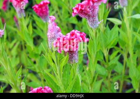 Cockscomb flower or Chinese Wool flower plant in a park - Stock Photo