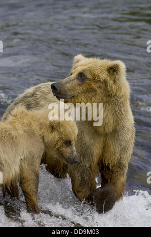 Adult Grizzly Bear hunts Salmon at Brooks Falls with Cub - Alaska, USA - Stock Photo