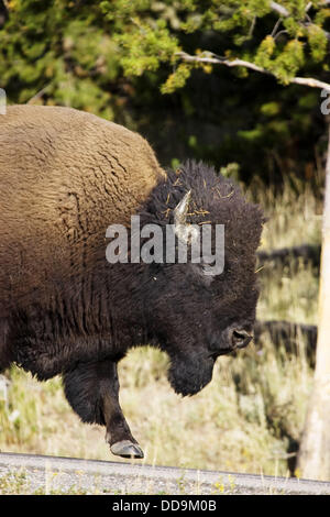 Male American Bison walks along a highway in Yellowstone - Stock Photo