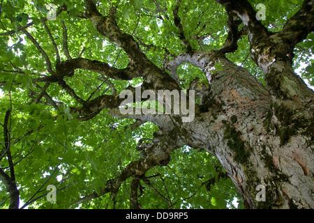 Sycamore, Erable sycomore, maple, Bergahorn, Berg-Ahorn, Ahorn, Acer pseudoplatanus - Stock Photo